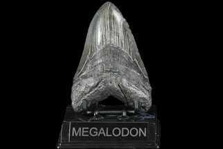 Carcharocles megalodon - Fossils For Sale - #74076