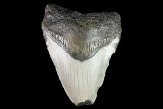 "Bargain, 2.89"" Megalodon Tooth - North Carolina For Sale, #76319"
