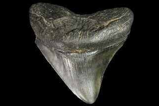 Carcharocles megalodon - Fossils For Sale - #76494