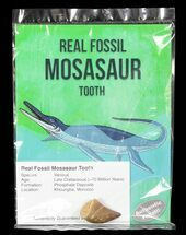 "Buy Wholesale: 1"" Fossil Mosasaur Tooth (Packaged) - 10 Pieces - #76702"