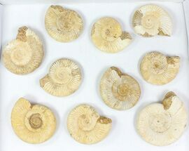 "Buy Wholesale Lot: 3-3.5"" Perisphinctes Ammonite Fossils - 10 Pieces - #77170"