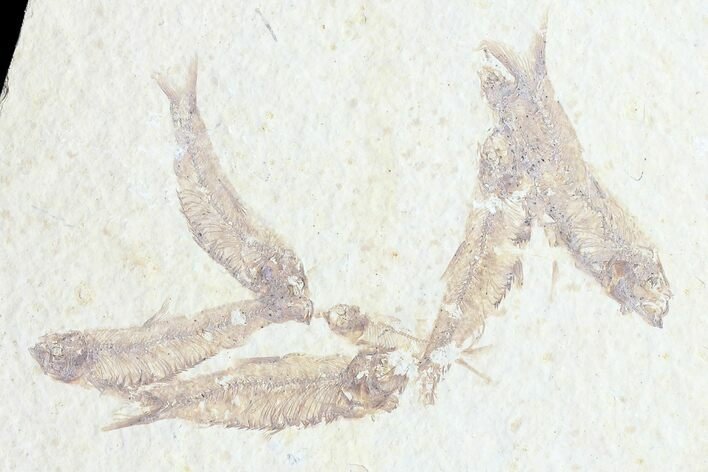 Multiple (7) Small Knightia Fossil Fish - Wyoming