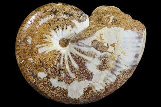 "3"" Polished Jurassic Ammonite Fossil - Madagascar For Sale, #76991"