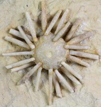 "1.6"" Cretaceous Fossil Urchin (Salenia) - Missour, Morocco For Sale, #77231"