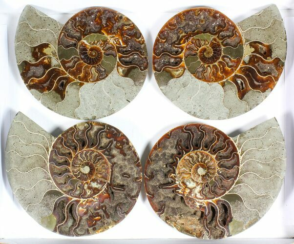 "Wholesale: 7 to 8"" Cut Ammonite Pairs (Grade B/C) - 5 Pairs"