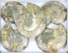 "Wholesale: 7 to 8"" Cut Ammonite Pairs (Grade B/C) - 5 Pairs - #77331-2"