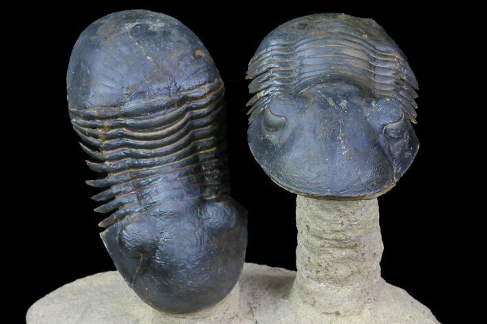 "Two ""Flying"" Paralejurus Trilobites - Foum Zguid, Morocco"