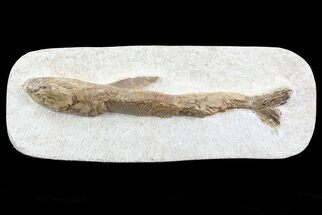 "8.5"" Lower Turonian Fossil Fish - Goulmima, Morocco For Sale, #76403"