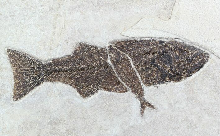 "14"" Mioplosus With Knightia Fossil Fish Plate - Wyoming"