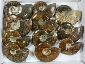 "Buy Wholesale: 5 - 6"" Whole Polished Ammonites (Grade B/C) - 11 Pieces - #77761"