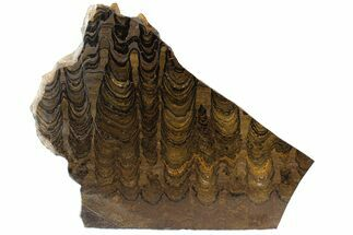 "11"" Stromatolite (Greysonia) From Bolivia - Pre-Cambrian For Sale, #77885"