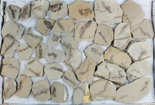 Buy Wholesale Lot: Small Metasequoia (Dawn Redwood) Fossils - 66 Pieces  - #78070