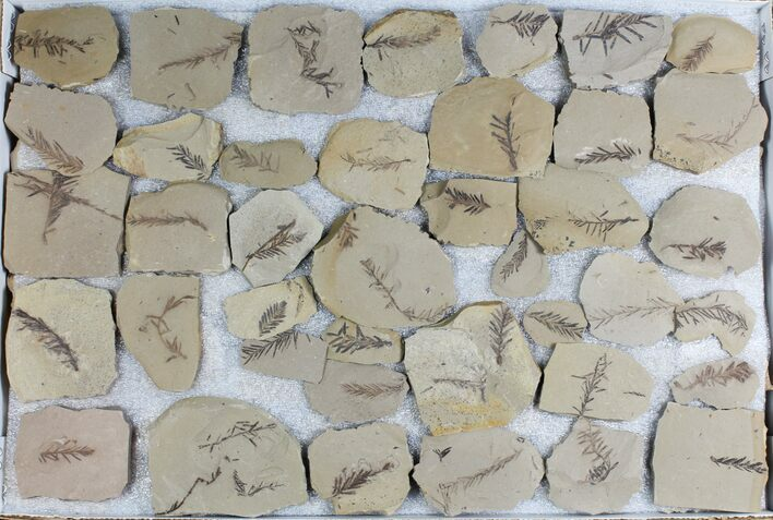 Wholesale Lot: Small Metasequoia (Dawn Redwood) Fossils - 99 Pieces