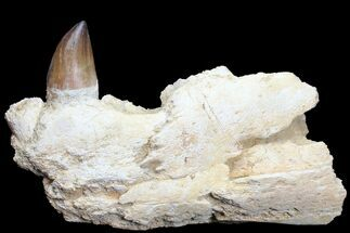 Prognathodon - Fossils For Sale - #78096