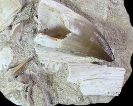 Prognathodon, Serratolamna - Fossils For Sale - #77985