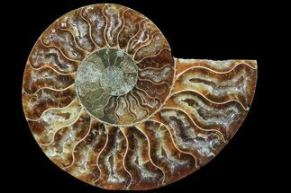 Cleoniceras - Fossils For Sale - #78408