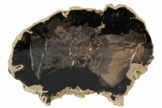 "Buy 4.9"" Polished Petrified Wood (Palm) End-Cut - Wyoming - #78880"