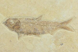 "Buy Detailed, 3.85"" Knightia Fossil Fish - Wyoming - #78304"