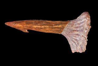 "Buy .62"" Cretaceous Giant Sawfish (Onchopristis) Rostral Barb  - #72676"