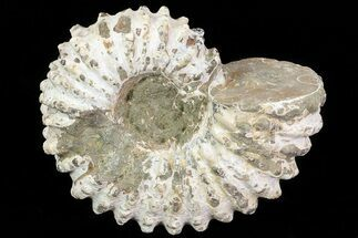 "3.1"" Bumpy Douvilleiceras Ammonite - Madagascar For Sale, #79115"