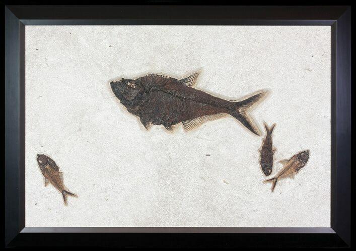 "33"" Wide, Framed Fossil Fish Plate - Amazing Wall Display"