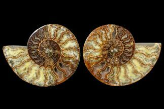 Cleoniceras - Fossils For Sale - #79146