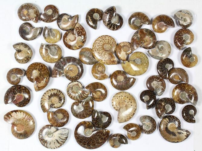 "Wholesale: 1 KG Madagascar Polished Ammonites (1-2"") - 48 Pieces"