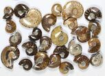"Wholesale: 1 KG Madagascar Polished Ammonites (1-2"") - 48 Pieces - #79348-2"