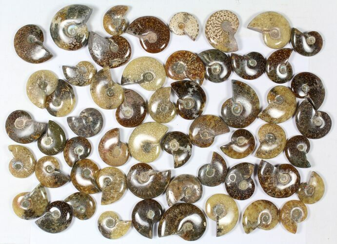 "Wholesale: 1 KG Madagascar Polished Ammonites (1-2"") - 55 Pieces"