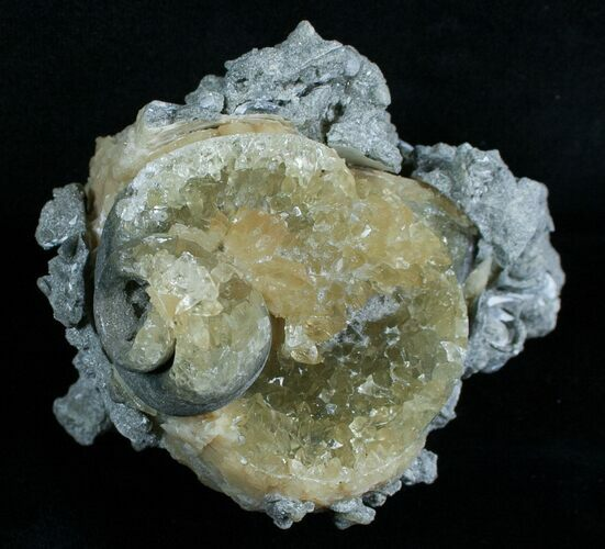 Partial Fossil Whelk With Golden Calcite Crystals
