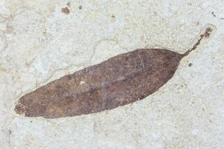 "3.8"" Fossil Leaf (Unidentified) - Green River Formation For Sale, #79547"