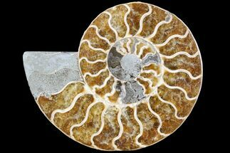 "5.4"" Agatized Ammonite Fossil (Half) - Madagascar For Sale, #79718"
