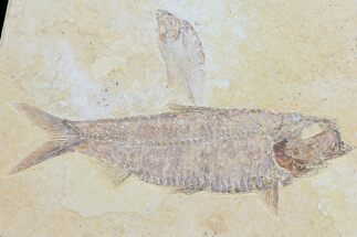 Buy Knightia & Diplomystus Fossil Fish Association - Wyoming - #79834