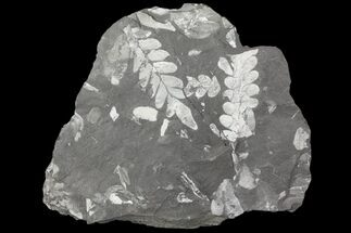 "Buy 4.9"" Wide Fossil Seed Fern Plate - Pennsylvania - #79687"