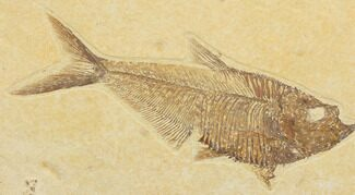 "Detailed, 5.5"" Diplomystus Fossil Fish - Wyoming For Sale, #79958"