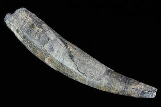 "4.7"" Fossil Pygmy Sperm Whale (Kogiopsis) Tooth For Sale, #78236"