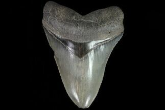 "Buy Serrated, 5.76"" Fossil Megalodon Tooth - Beautiful Color - #78907"