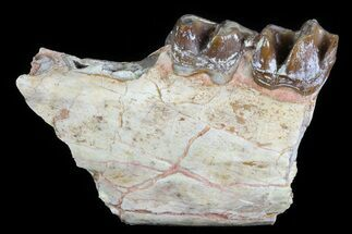 "Buy 2.8"" Hyracodon (Running Rhino) Jaw Section - South Dakota - #80149"