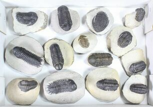 Buy Wholesale Lot: Assorted Devonian Trilobites - 14 Pieces - #80737