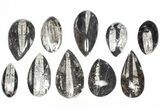 "Wholesale Lot: Polished Orthoceras Fossils (2-4"") - 100 Pieces - #80742-1"