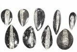 "Wholesale Lot: Polished Orthoceras Fossils (2-4"") - 100 Pieces - #80742-2"