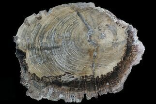 "14.2"" Detailed Petrified Wood (Araucaria) Round - Madagascar  For Sale, #81347"