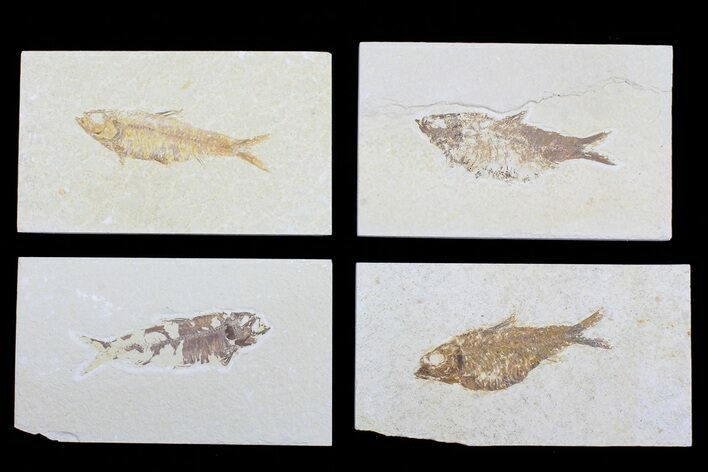 "Wholesale Lot: 1.5 to 3"" Green River Fossil Fish - 20 Pieces"