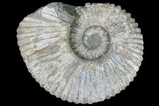 "Buy 9.8"" Bumpy Douvilleiceras (Tractor) Ammonite - Huge Example! - #81862"