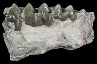 "4.4"" Oreodont Jaw Section - South Dakota For Sale, #81938"