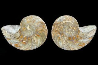 "2.5"" Cut & Polished Nautilus Pair - Madagascar For Sale, #81974"