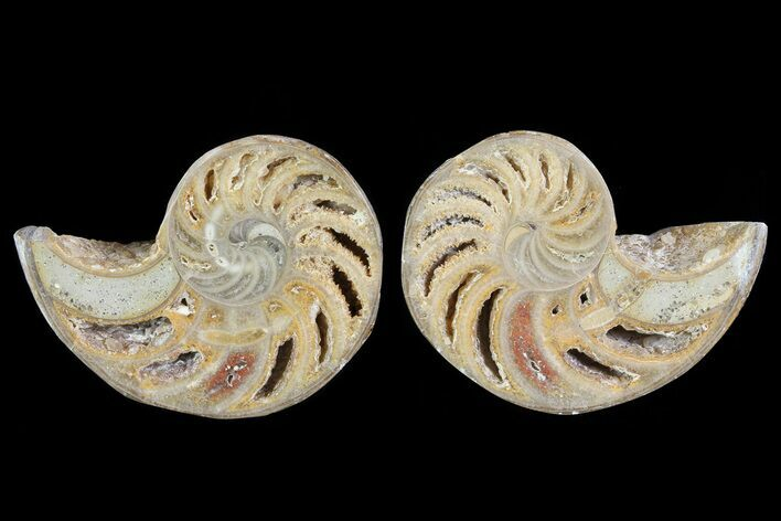 "2.6"" Cut & Polished Nautilus Pair - Madagascar"