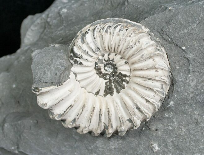 "1.5"" White Pleuroceras Ammonite - Germany"