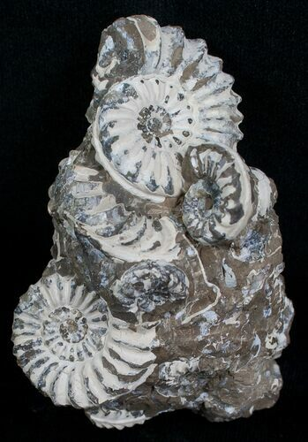 Nodule With 6 Pleuroceras Ammonites - Germany