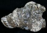 Nodule With 6 Pleuroceras Ammonites - Germany - #6173-1